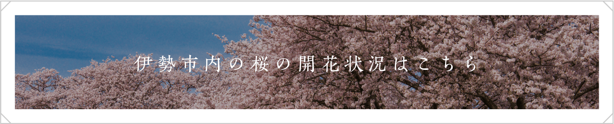 伊勢市内の桜の開花状況はこちら